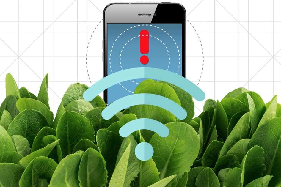 En intégrant des nanotubes de carbone dans des feuilles d'épinards, des ingénieurs du MIT ont transformé ces plantes en capteurs capables de détecter des explosifs et de relayer ces informations à un smartphone. © Christine Daniloff, MIT