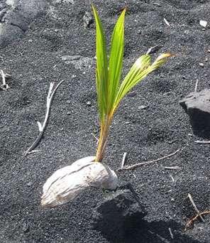 Noix de coco germant sur une plage d'Hawaï. © Wmpearl, DP