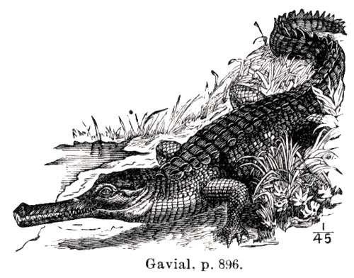Un gavial. © Domaine public