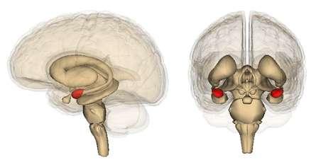 Les amygdales (en rouge) sont de petites structures cérébrales en amande, responsables des émotions et impliquées dans la gestion des réseaux sociaux. © Life Science Databases, Wikimedia, CC by-sa 2.1