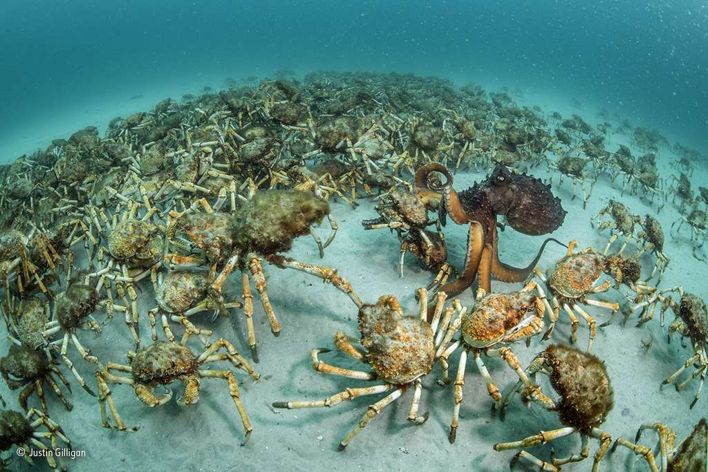 Un poulpe parmi des dizaines de crabes. © Justin Gilligan, 2017 Wildlife Photographer of the Year