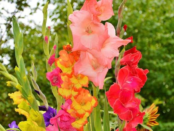 Les différentes variétés de glaïeuls font la beauté des massifs comme des bouquets. © Capri23auto, Pixabay, DP