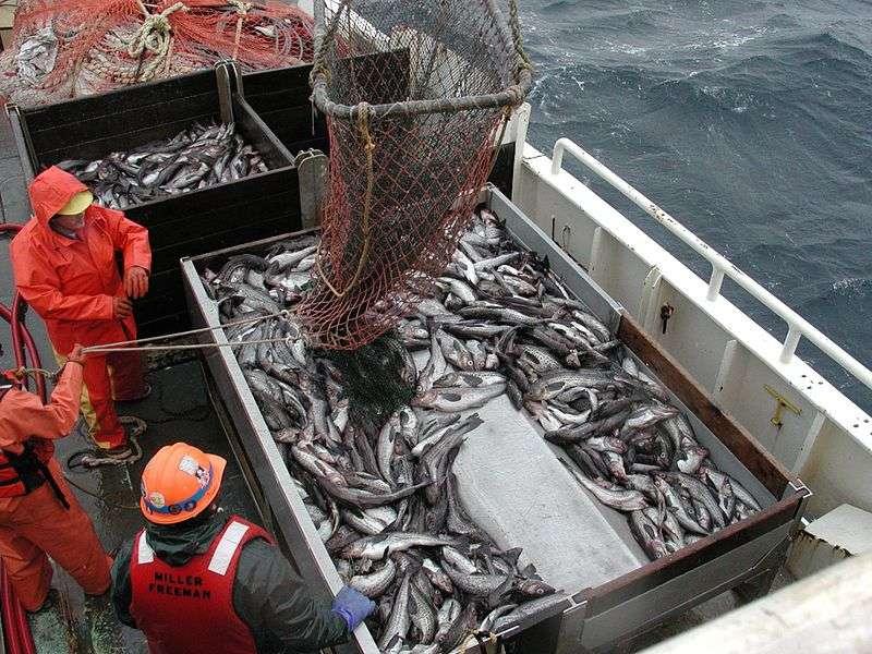 Table de tri sur un chalutier. Il faut parfois plus d'une dizaine de jours pour que le poisson pêché en haute mer se retrouve sur les étals. © Allen Shimada, NOAA, NMFS, OST, DP