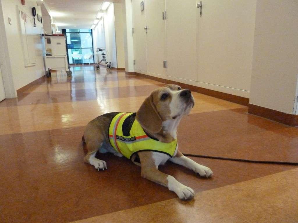 Voici Cliff, le chien renifleur de Clostridium difficile. Il a été dressé pour s'asseoir ou s'allonger lorsqu'il sent la présence de la bactérie. © Bomers et al., BMJ Open