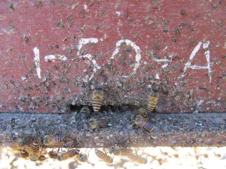 Des abeilles de l'espèce Apis cerana en train de disposer des fèces à l'entrée de la ruche. © Heather Mattila