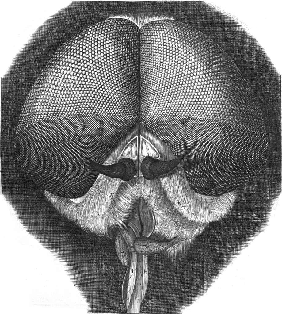 Avec Micrographia, le public découvre un univers qu'il n'avait pu qu'imaginer jusque-là. Les magnifiques illustrations de Robert Hooke témoignent tant de la qualité de ses appareils que de ses incroyables talents d'observateur et de dessinateur. © Domaine public