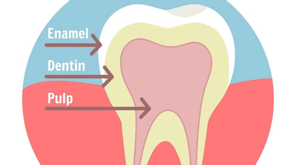 La dentine (dentin) se trouve sous l'émail (enamel) de la dent et au-dessus de la pulpe (pulp). © Fotolia