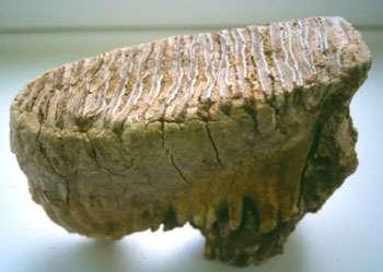 Molaire inférieur de mammouth © Pierre-Elie Moullé Musée du Mans