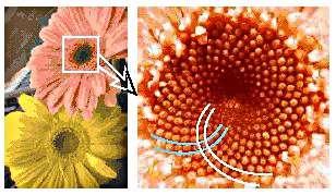 La photo de droite agrandit le cœur de ce genre de marguerite appelée gerbera. Sur ce cœur sont tracées des courbes blanches et des courbes bleues pour montrer comment les fleurons sont disposés. Il se trouve que le nombre d'or est à la base de toute l'organisation de ce cœur, nous allons le découvrir très simplement, en nous amusant à réaliser des tracés. © DR