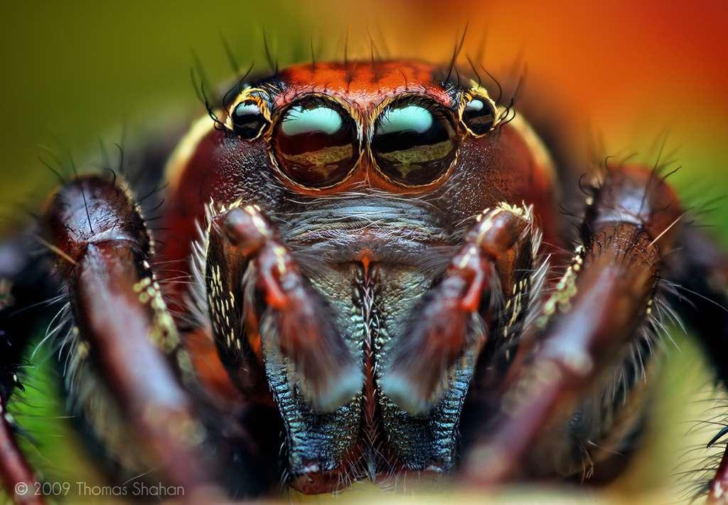 Araignée Thiodina puerpera