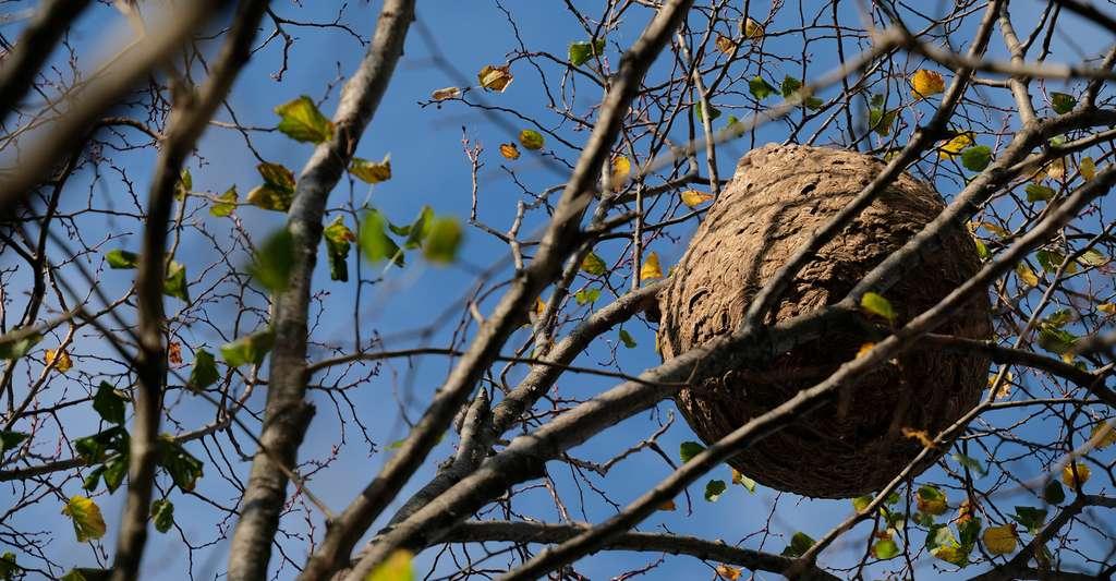 Selon l'Inventaire national du patrimoine naturel, il est possible d'observer un nid de frelons asiatiques à quatre ou cinq mètres de distance sans risquer une attaque. © Boris Mélinand, Fotolia