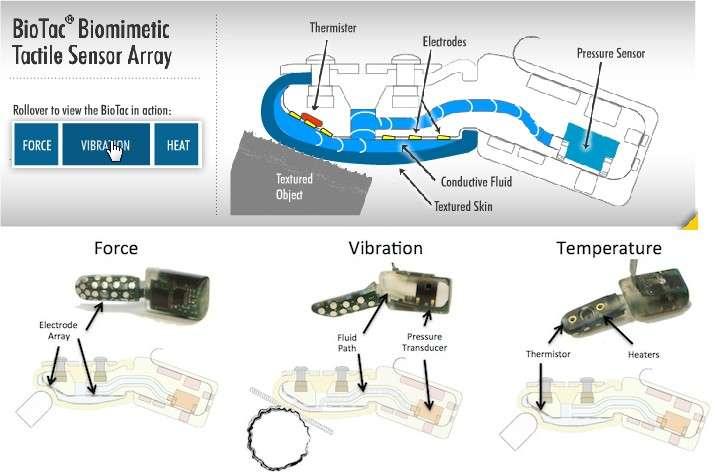 Détails du fonctionnement du capteur BioTac lorsqu'il entre en contact avec une texture rugueuse. On distingue la peau en silicone parsemée de microsillons (textured skin), puis le liquide conducteur (conductive fuid), les électrodes, la thermistance (thermister) et le capteur de pression (pressure sensor). © SynTouch LLC