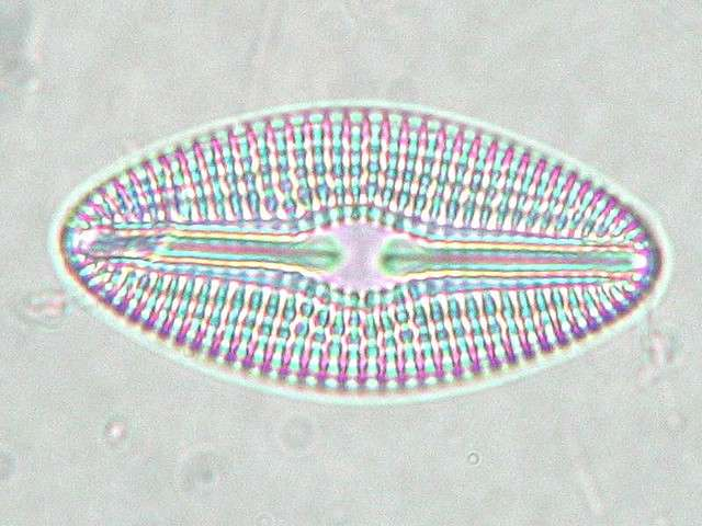 Les diatomées pourraient représenter plus de 80 % du phytoplancton. Elles seraient le groupe végétal le plus répandu et désignent plus de 6.000 espèces. © fabelfroh, Flickr, cc