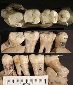 Trois vues des quatre dents étudiées. © David Frayer, University of Kansas
