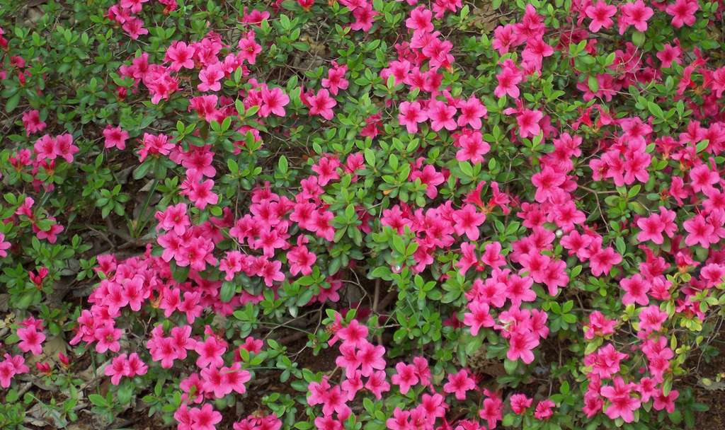 Azalée du Japon (Rhododendron obtusum) : floraison et entretien. © A. Barra, Wikipédia, CC by 3.0