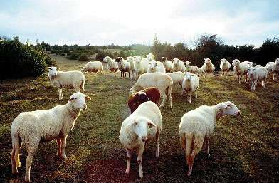Les brebis sont nouries à 65% par le pâturage du causse © INRA / G. Cattiau