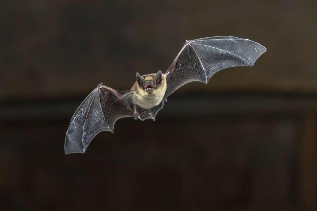 La chauve-souris fait partie des petits mammifères victimes du trafic routier. © Creativenature.nl, Adobe Stock
