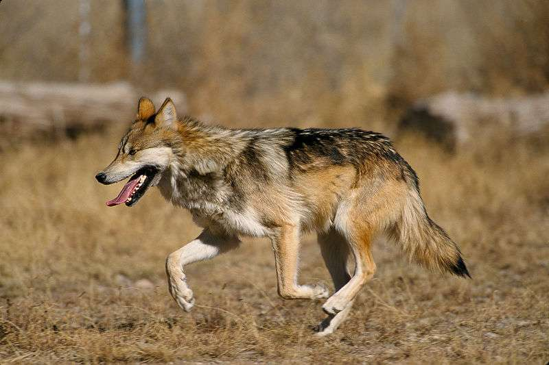 Loup du Mexique. © Jim Clark U.S. Fish and Wildlife Service, domaine public