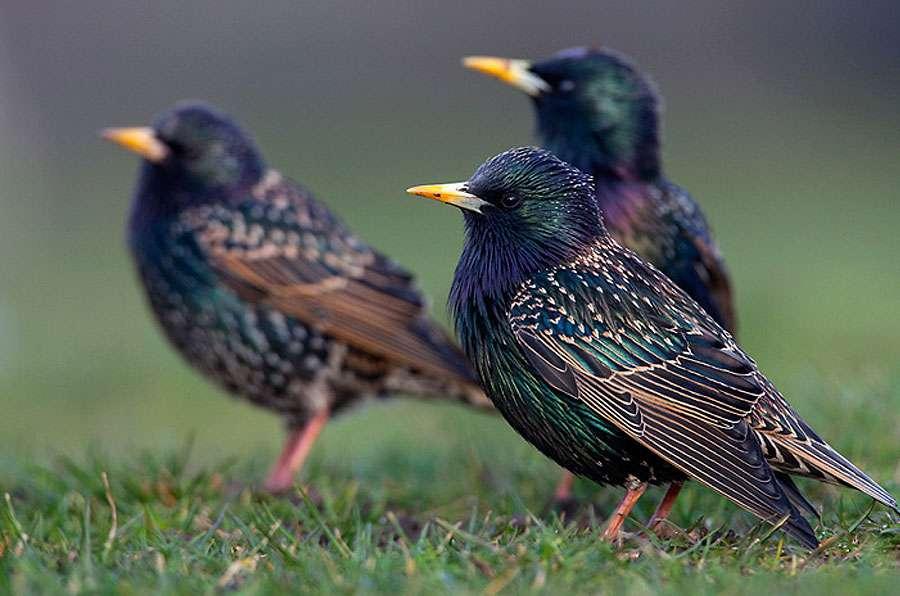 Les étourneaux volent en groupe. © Marek Szczepanek, Wikipedia, CC by-sa 3.0