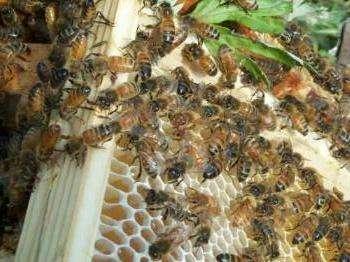 Une colonie d'abeille. Crédits : http://www.miel-uzes.com