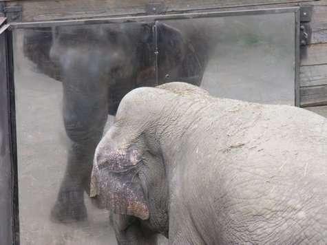 Face à son reflet, l'éléphant est capable de se rendre compte qu'il ne s'agit pas d'un étranger. Une preuve, s'il fallait encore le démontrer, de sa très grande intelligence (avec l'aimable autorisation de Joshua Plotnik)