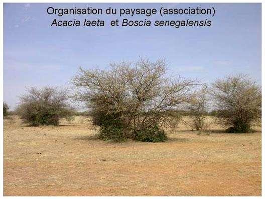 Acacia laeta © Philippe Birnbaum - Tous droits de reproduction réservés