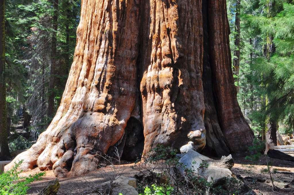 Au pied du séquoia géant Général Sherman. © Thierry, fotolia