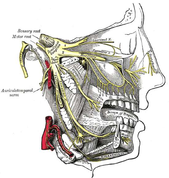 Les différentes branches du nerf trijumeau. © Henri Vandyke Carter, Wikimedia Commons