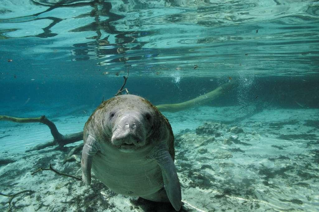 Le lamantin, seul mammifère marin herbivore