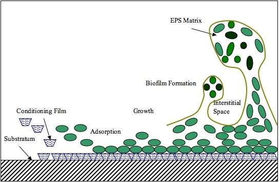 Schéma montrant la formation d'un biofilm. Les micro-organismes se développent sur une surface et produisent une matrice dans laquelle ils sont enchâssés. © Aalexopo, Wikimedia Commons, cc by sa 3.0