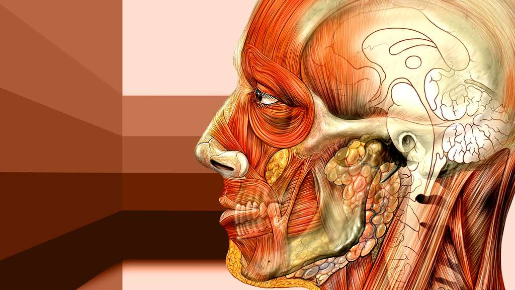 Anatomie de la face vue du côté