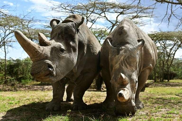 Des rhinocéros blancs, le 28 ami 2019 à Laikipia, au Kenya. © Tony Karumba - AFP/Archives