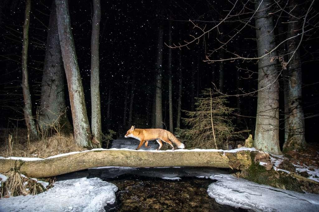 Renard roux, forêt de Bohème, République tchèque. © Vladimir Cech, World Nature Photography Awards