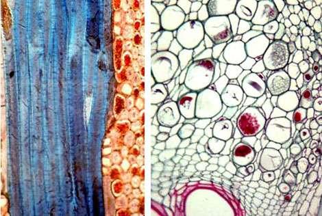 À gauche : phloème coupe long. À droite : phloème et cribles. © DR
