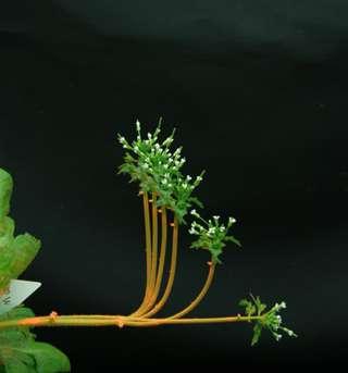 Formes successives d'une inflorescence de l'arabette des dames (Arabidopsis thaliana) au cours de son redressement après une inclinaison à l'horizontale. On voit que l'ensemble de la tige commence par se courber vers le haut. La partie haute se rectifie ensuite progressivement et la courbure se concentre à la base (taille de la hampe : 10 cm, durée totale : 20 h). © Bastien, Douady et Moulia, Inra