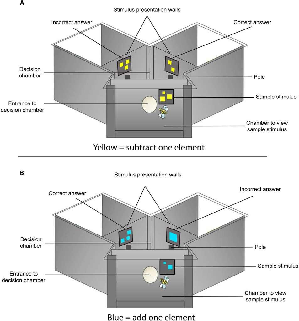 Dans un labyrinthe en Y, les abeilles sont entraînées à choisir la bonne réponse : soustraire un carré si la couleur est jaune, ajouter un carré si la couleur et bleue. © Scarlett R. Howard et al., Science advance, 2019