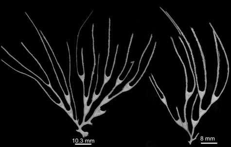 Une nouvelle espèce d'Asbestopluma du Pacifique, en forme de gorgone. Ses rameaux portent de longs et fins filaments, cassés durant la récolte, sur lesquels les proies sont piégées. © Modifié de Vacelet 2006