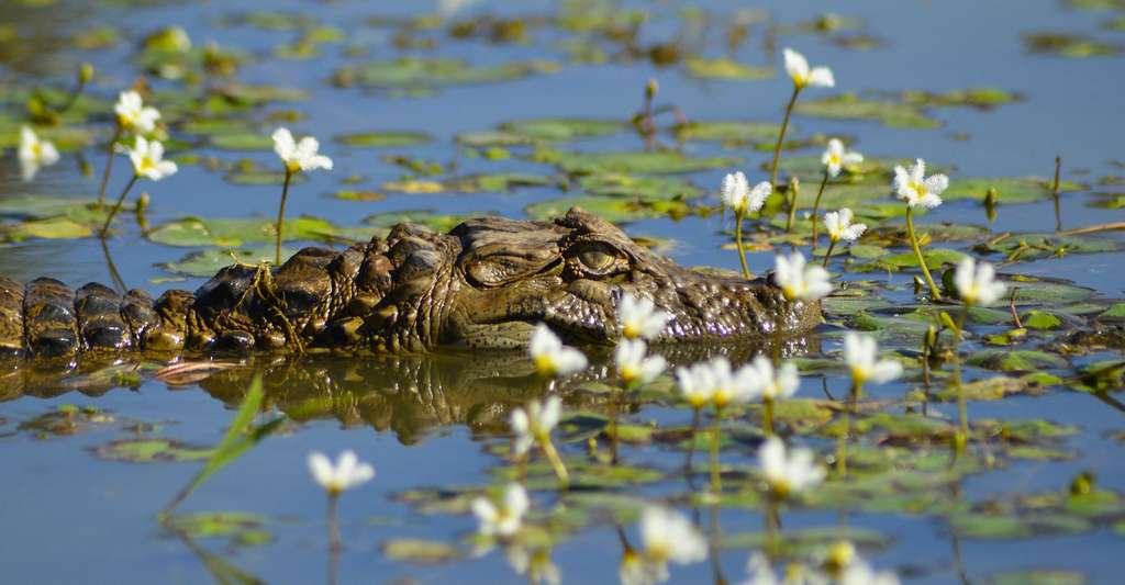 Le crocodile dans son milieu naturel. © PublicDomainPictures, Domaine public
