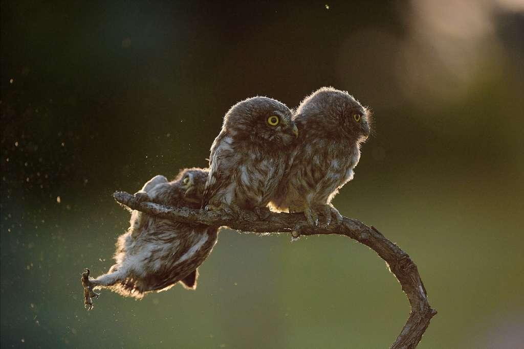 Persévérante, la jeune chouette parvient à se mettre à côté de son frère et de sa sœur. © Tibor Kercz, Comedy Wildlife Photography Awards