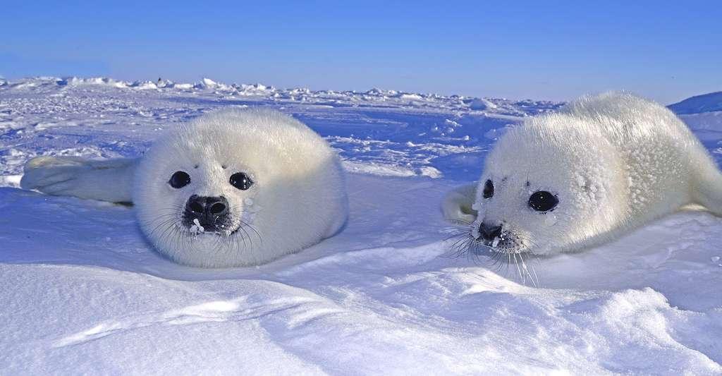 Bébés phoques. © Seabreezecairns, Fotolia