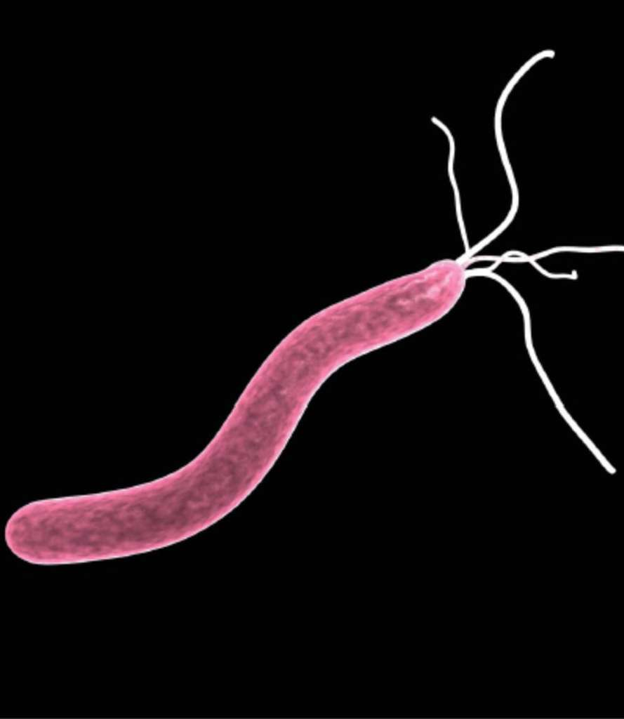 Représentation artistique de Helicobacter pylori avec ses flagelles (petites queues en fouet, au nombre de quatre ou six), qui permettent à la bactérie de se déplacer à travers le mucus et d'atteindre l'épithélium de l'estomac. © Dunod