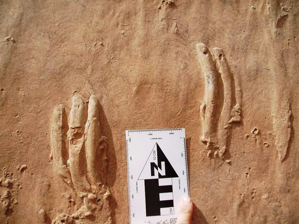 Un gros plan de dalle ci-dessus trouvée dans une région de l'Utah, aux États-Unis, occupée par le Capitol Reef National Park. On voit qu'il s'agit en réalité de contre-empreintes, c'est-à-dire celles laissées dans une couche de boue qui est venue recouvrir celle contenant les empreintes. © Tracy Thomson