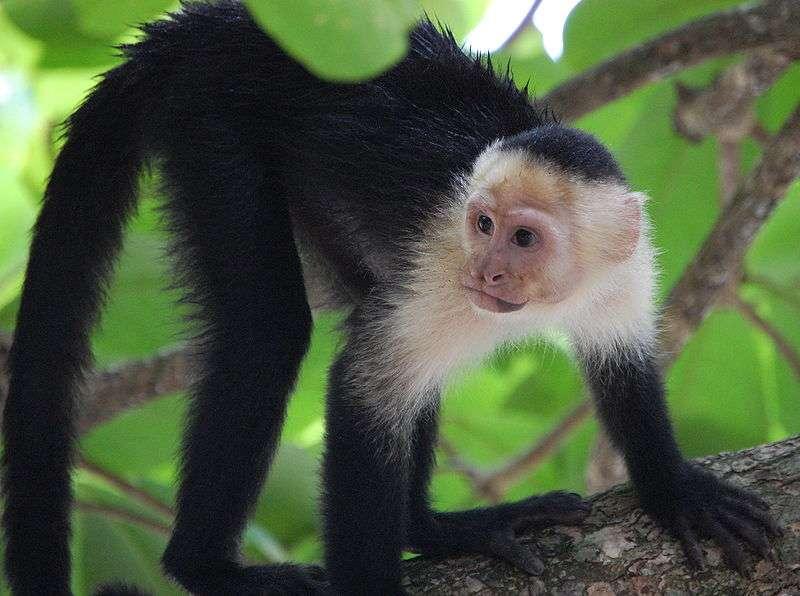 Capucin moine et sa collerette de poils clairs. © Steven G. Johnson,CC-by-SA 3.0