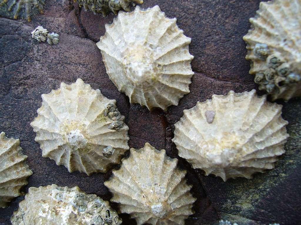 Un groupe de patelles communes (Patella vulgata) dans le Pembrokeshire, au Pays de Galles. © Tango22, Wikipédia, CC BY-SA 3.0