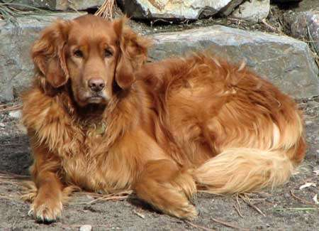 Golden retriever. © Wikipedia