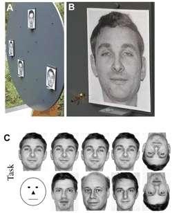 L'expérience de 2005. Les abeilles apprennent à reconnaître parmi plusieurs photographies de visages (A) celui qu'elles ont appris à reconnaître (B) et qu'elles parviennent donc à distinguer d'autres visages (C). © Adrian Dyer et al. / PlosOne
