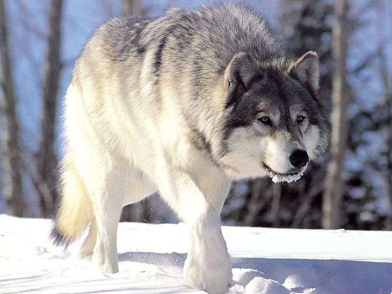 La majorité des populations qualifiées de loups sont des sous-espèces du loup gris (Canis lupus), qui est aussi à l'origine des chiens et des dingos. © Chris Muiden, Wikipédia, cc by sa 3.0