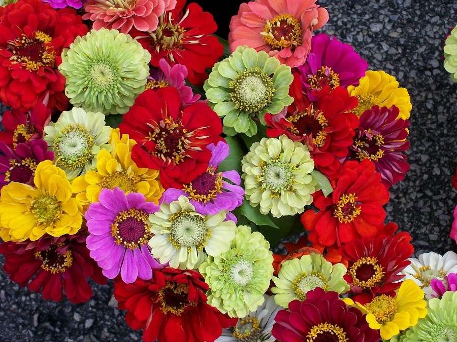 Mixité de formes et de couleurs avec les zinnias. © Drilnoth, Domaine Public