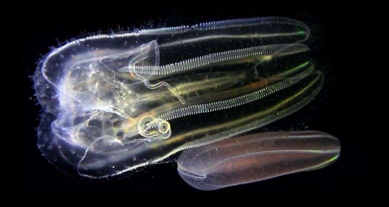 Deux cténophores se promènent sous l'œil du photographe. © Christian Sardet, CNRS