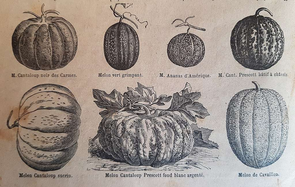 Formes différentes des melons en fonction des variétés. © Catalogue Vilmorin-Andrieux 1er janvier 1900. Domaine Public